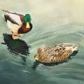 Mallard and mate - Watercolour 10 x 14